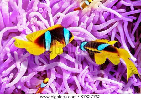 Couple Of Cute  Clown-fish In The Bush Of Anemone's.
