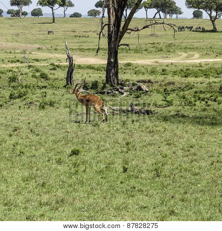 Antelope In Masai Mara National Park.