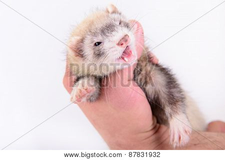 Small Animal Rodent