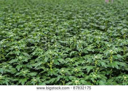 Young Budding Chrysanthemum Plants In A Nursery