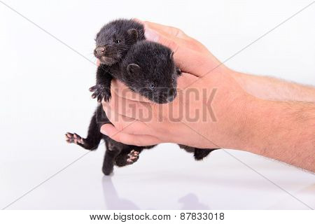 Black Animal Mink