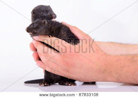 Black Animal Mink