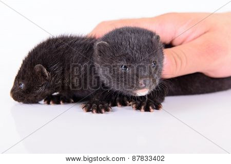 Two Small Mink