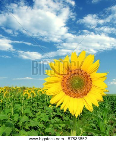 Sunflower with blue sky in sunny day