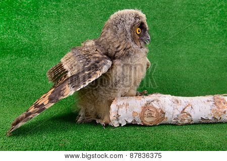 Young Bird Owl Sitting
