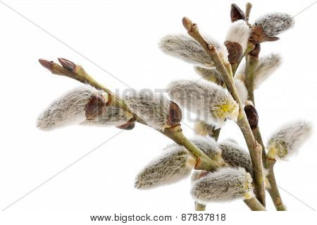 Willow Branches With Catkins Isolated On White