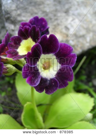 Purple Primula Auricula