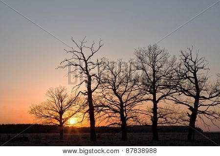 Big Oaks Against The Sun At The Time Of A Sunset