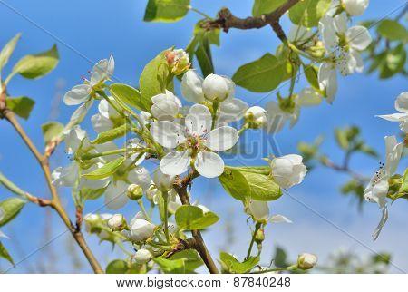 Blooming Pear