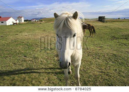 White Icelandic Pony