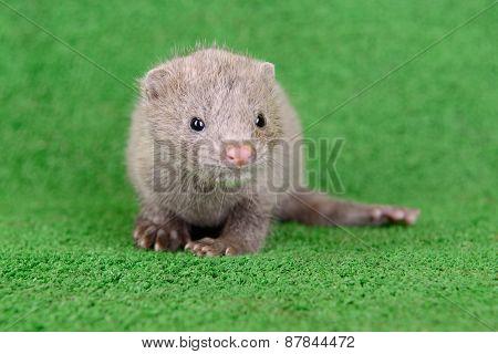 Gray Animal Mink