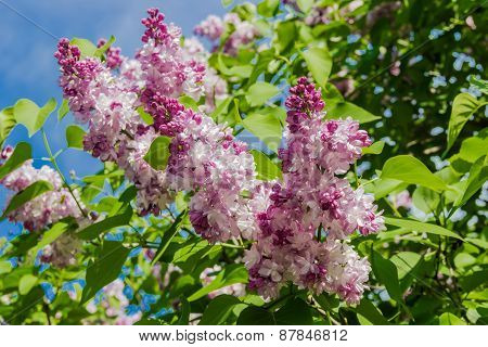 Lilac Bush With Pale Purple Flowers