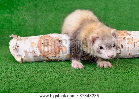 Young Rodent Ferret