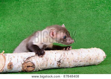 Small Animal Marten
