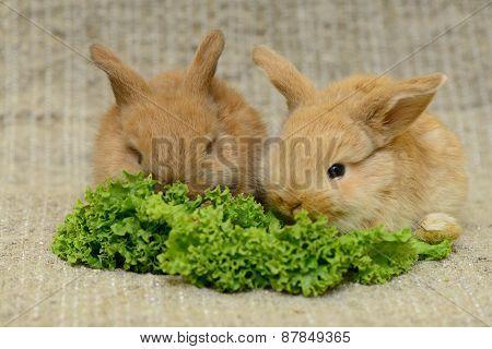Newborn Brown Rabbits