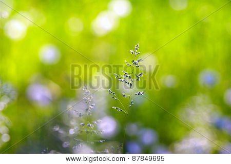 Grass spikelet