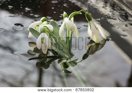 Beautiful Snowdrops In A Wood