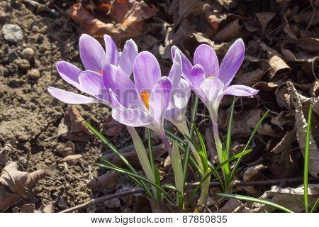 Purple Flowers Of Saffron In A Wood