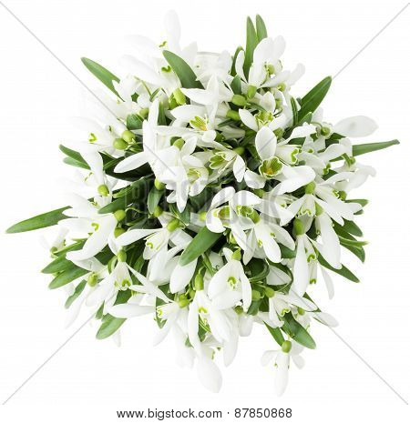 Beautiful Snowdrops Isolated On A White Background