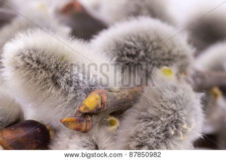Close-ups Of Grey Willow