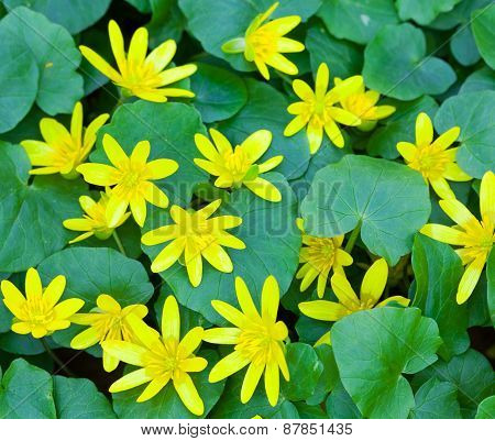 Wild yellow spring flowers