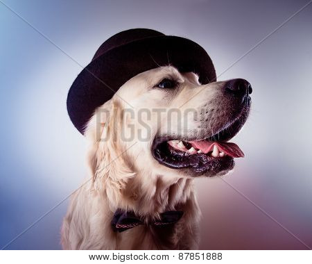 Golden retriever dog with tophat and bowtie studio portrait