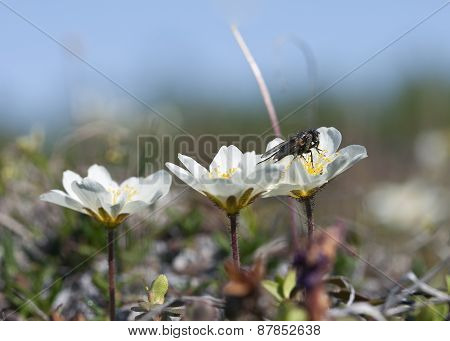 Close up of Mountain Avens, Dryas octopetala in Latin.