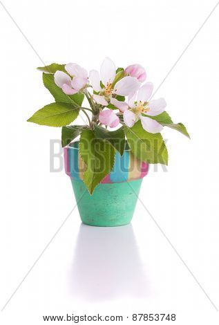 Pink and white apple flowers in a tiny pot