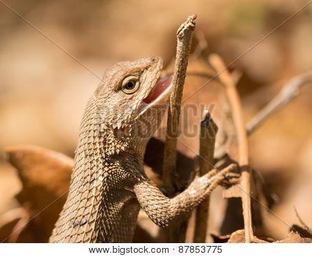 Female Eastern Fence Lizard in spring sun