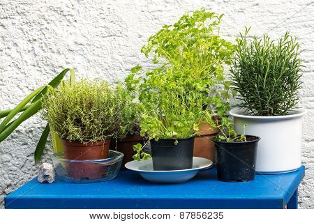 Herbs In Pots On A Blue Table Against A White Wall