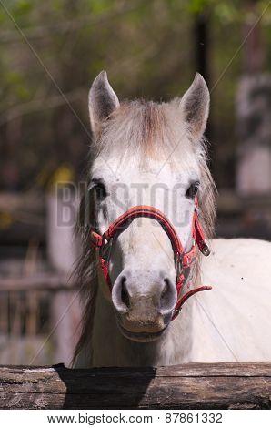 Detail of a Camargue horse
