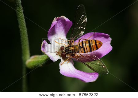 Bee-fly On The Flower