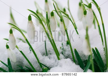 Blooming Snowdrops Flowers Covered By Snow