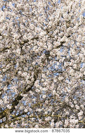 Japanese Cherry Tree Flowers In Full Bloom