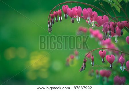 Bleeding Hearts Close-up