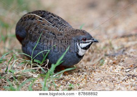 Blue Quail Bird