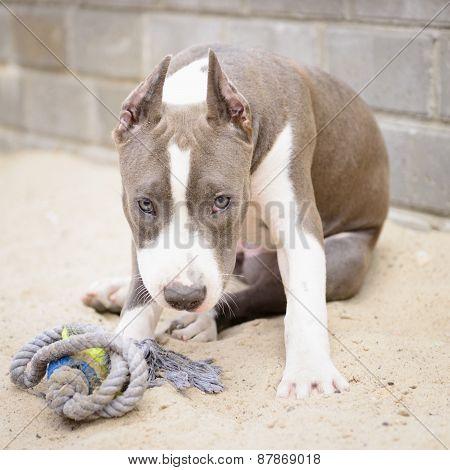 Gray Puppy Stafford