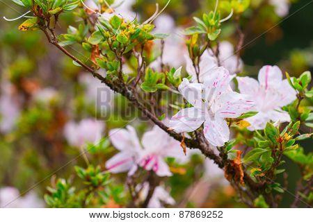 pink Azalea flower Azalea flower in the morning