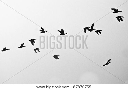 Flock Of Ducks Silhouetted On A White Background