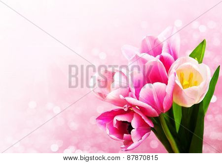 Pink Colored Tulip Flowers