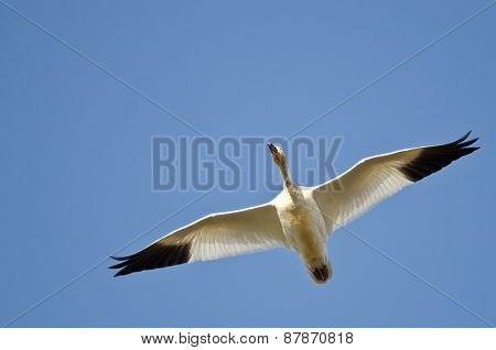 Lone Snow Goose Flying In A Blue Sky