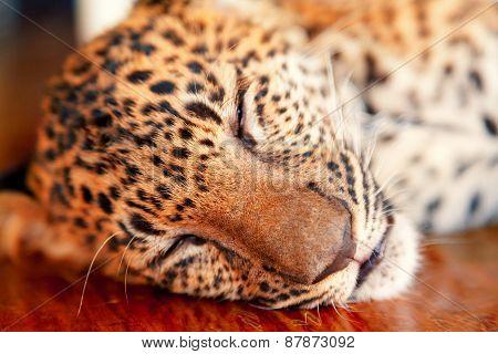 Baby Leopard In Thailand