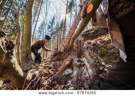 Senior Woodcutter Trying To Take Down A Sawn Tree
