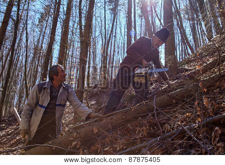 Senior Lumberjacks Cutting Trees