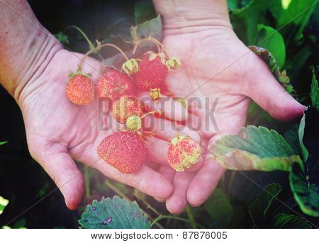 Farmer shows ripe organic strawberries on plant, toned image