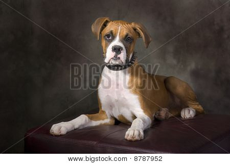 Boxer Puppy With Spiked Collar