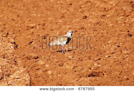 Pájaro Vanellus Chilensis, nombre Queltehue.