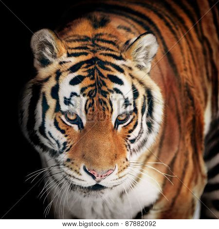 Tiger Portrait Closeup On Black
