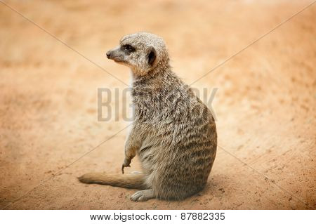 Meerkat Seating In Desert