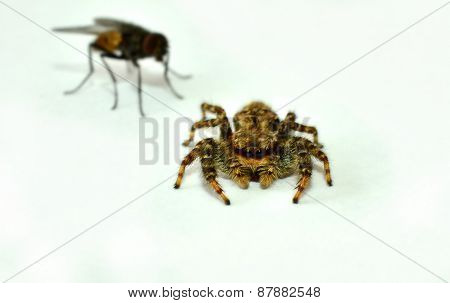 Zebra spider with fly in the background